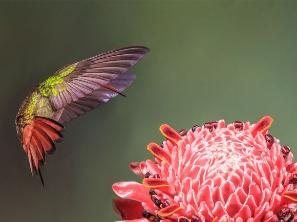 coppery-headed-emerald-hummingbird_83584_990x742